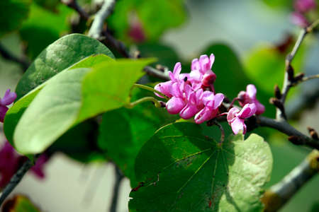 Common Judas tree (Cercis siliquastrum) - tree with purple flowers, Famagusta, Turkish Republic of Northern Cyprus