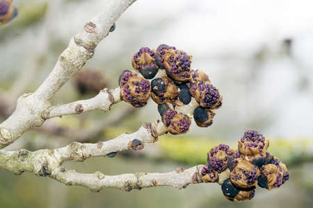 Purple flower buds of an ash tree (Fraxinus excelsior)