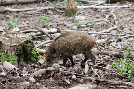 Wild boar (Sus scrofa) in the wildlife park, Mechernich, North Rhine-Westphalia, Germany