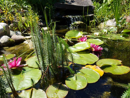 Common fir frond (Hippuris vulgaris) in the lily pond 免版税图像