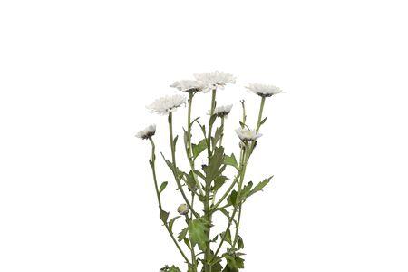 White rose romantic white flower for wedding