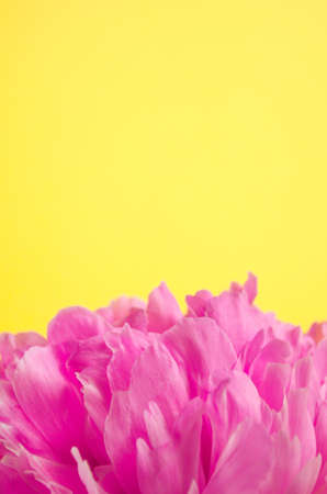 Peony on yellow background with copy space. Petals of single blooming flower. Greeting card template.
