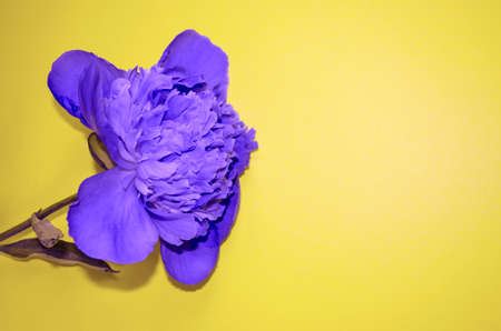 Blue flower on yellow background with copy space. Single blooming bud flat lay.