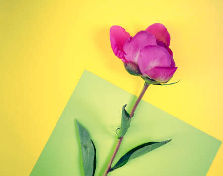 Pink flower on yellow background with copy space. Single blooming peony flat lay.