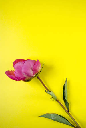 Peony flower on yellow background with copy space. Single blooming bud flat lay.