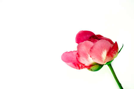 Peony flower on white background. Single blooming bud with copy space.