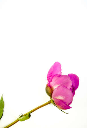 Pink blooming bud with copy space. Peony flower isolated on white background. Banque d'images