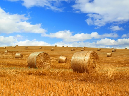 hay bales: Harvested field with straw bales