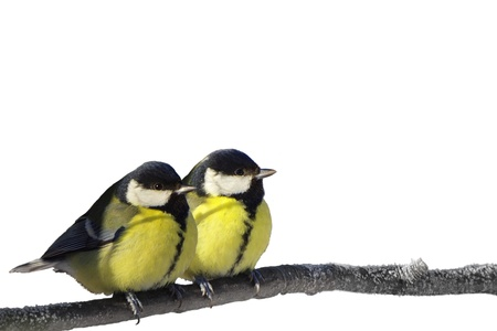 Pair of Great Tit birds isolated on white photo