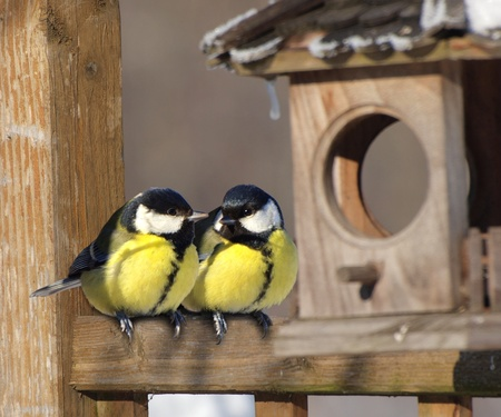 A pair of Great tit birds sitting next to nest box photo