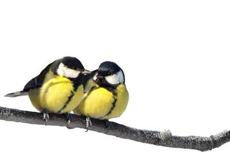 Pair of Great tit birds on twig isolated on white photo