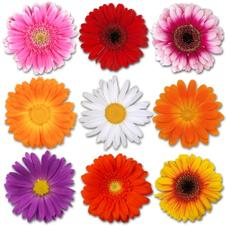 marguerite: Fleurs de couleur isolé sur blanc Banque d'images
