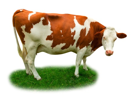 Cow on grass isolated on white photo