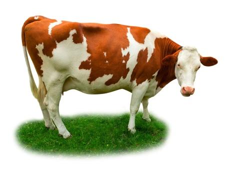 Kuh auf Gras isoliert auf weiß Standard-Bild - 14435399