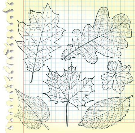 oak leaf: Sketches of leaves on squared paper