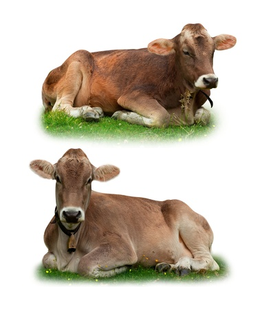 Cows relaxing on grass isolated on white photo