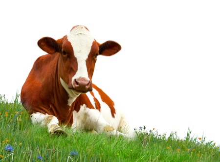 bovine: Spotted cow on meadow isolated on white