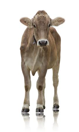 白で隔離され立っている牛
