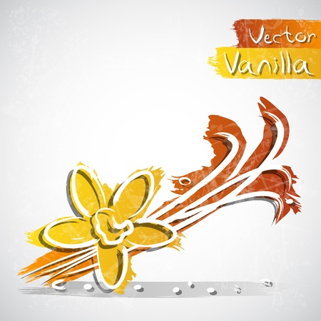 indian bean: Vector illustration of vanilla