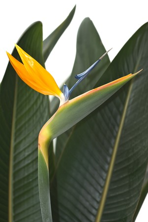 Bird of Paradise Flower in a Hawaiian Tropical Garden  photo
