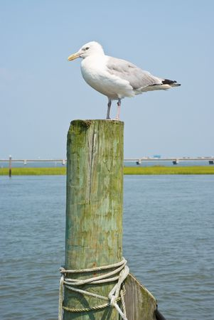 piling: Seagulls on a Piling in Virginia