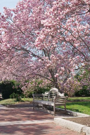 Peaceful Scene with Bench and  Magnolia Flowers in Spring Stock Photo - 6787468