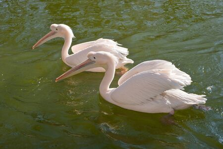 Two Great White Pelicans, Pelecanus onocrotalus, in the water photo