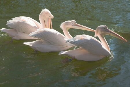 Group of Great White Pelicans, Pelecanus onocrotalus, in the water photo