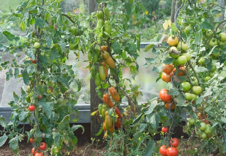 eating in the garden: Vegetable Garden with Fresh and Nutritious Tomatoes Stock Photo