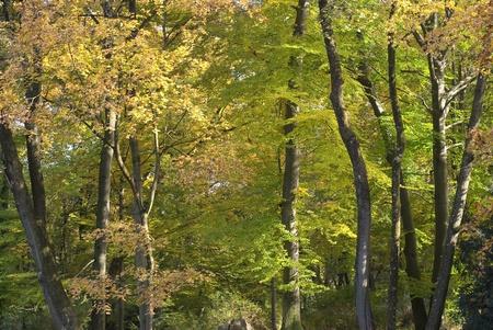 arboles frondosos: Paisaje del árbol pacífica con los colores del otoño temprano
