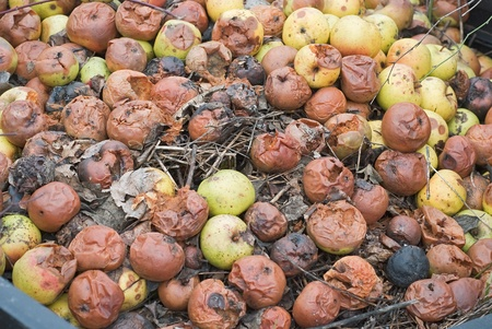 Composting Pile of Rotting Garden Apples as Example of Sustainable Living photo