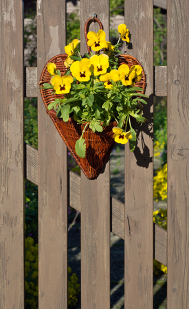 picket fence: Garden Pansy Decorations in a Basket on a Wooden Picket Fence Stock Photo