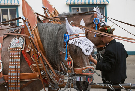 bridle: MUNICH, GERMANY - SEPTEMBER 20, 2008: Grand entry of the Oktoberfest Landlords and Breweries. Oktoberfest Parade Horses with Bridle Harness and Brewery Signs. This is the official prelude to the opening of the Oktoberfest in Munich, Germany.