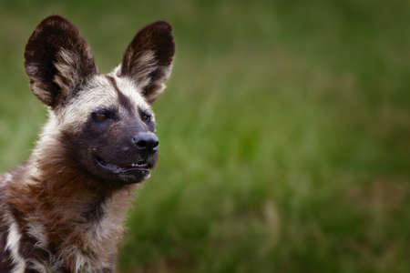 lycaon pictus: Highly alerted African wild dog. This wild dog was watching another predator entering the area. Lycaon pictus
