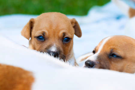 pups: Suckling Jack Russell pups.