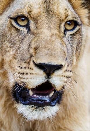 panthera leo: Young lion closeup. Panthera leo Stock Photo