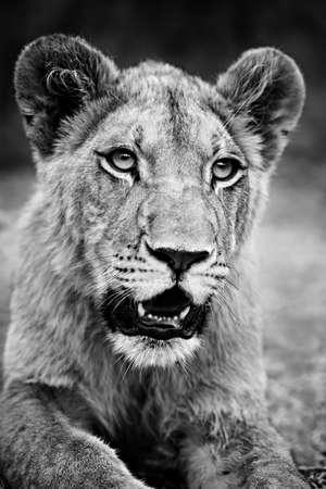 panthera leo: Monochrome lion closeup. Young male lion at rest. Panthera leo