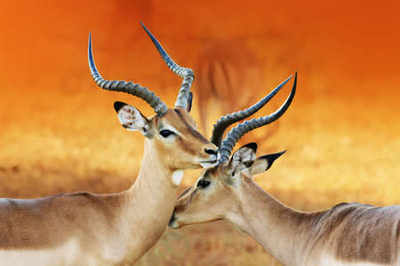 africa kiss: Impala affection ( Aepyceros melampus ) Two male impalas having an intimate moment during a time of battle, the rutting season.