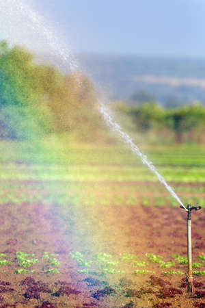 south africa soil: Farming lettuce and watering it with sprayers and mist creating a rainbow