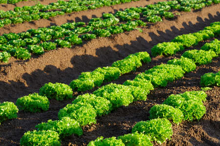 south africa soil: Farming lettuce. Closeup of fresh green lettuce in early morning sun still in the soil