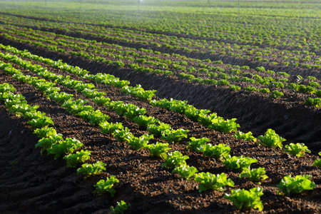 south africa soil: Lettuce farming closeup with water from sprayers spraying onto the lettuce