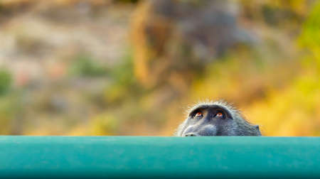 peaking: Baboon peaking. This baboon used a rail on a bridge to hide behind, hiding from its troop members. Papio ursinus Stock Photo