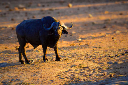 presence: Buffalo bull focused on the human presence. Syncerus caffer Stock Photo