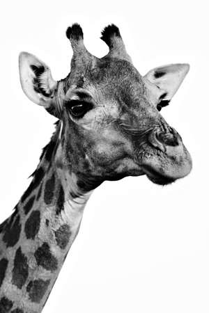 Monochrome giraffe portrait closeup Stock Photo