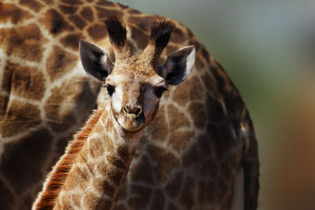 Very young giraffe staring fixed at the camera in the comfort and protection of its mom. Giraffa camelopardalis