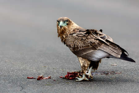 Bateleur with a kill, feeding on the road