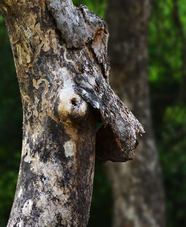 Breast cancer awareness from nature. Dying tree with loose bark clinging onto trunk looking like hand holding breast.