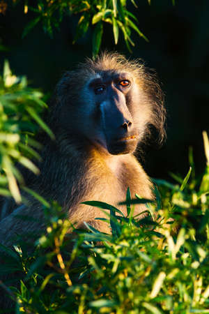 Chacma baboon staring into the camera with a rather interesting appearance. Green leaves creating a natural frame Zdjęcie Seryjne