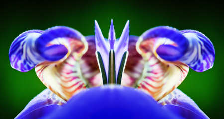 Close-up image of a colorful Iris flower. Artistic rendition for impact.