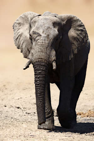 Elephant bull walking away after having a refreshing drink.  Loxodonta africana